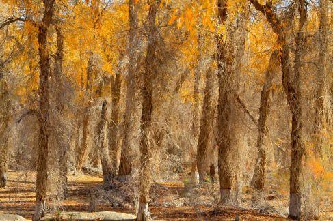胡楊,是我平生所見最堅韌的樹。它是神樹,是生命的樹,是不死的樹。那種遇強則強、逆境奮起、一息尚存、絕不放棄的精神,使所有真正的男兒血脈賁張。霜風擊倒,掙扎爬起,沙塵掩蓋,奮力撐出。它們為精神而從容赴義,它們為理念而慷慨就死。雖斷臂折腰,仍死挺著那一副鐵錚錚的風骨;雖痕傷累累,仍顯現著那一腔硬朗朗的本色。