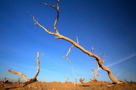 胡楊,是我平生所見最悲壯的樹。胡楊生下來一千年不死,死了後一千年不倒,倒下去一千年不朽。它們生前為所摯愛的熱土戰鬥到最後一刻,死後仍奇形怪狀地挺立在戰友與敵人之間。它們讓戰友落淚,它們讓敵人尊敬。那億萬棵寧死不屈、雙拳緊握的枯楊,似一幅天憫人的冬天童話。一看到它們,就會想起無數中國古人的氣節,一種凜凜然、士為知己而死的氣節。此時,胡楊林中飄過的陣陣凄風,這凄風中指天畫地的條條枝干,以及與這些枝干緊緊相連的棱棱風骨,如同一只只怒目圓睜的眼睛。眼裡,是聖潔的心與嘆息的淚。