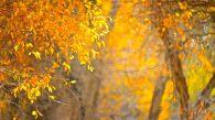 在西域,那曾經三十六國的繁華,都已被那浩茫茫的大漠洗禮得蒼涼斑駁,只剩下殘破的驛道,荒涼的古城。當然,還剩下胡楊,還剩下胡楊簇簇金黃的葉,倚在白沙與藍天間,一幅醉人心魄的畫,令人震撼無聲。