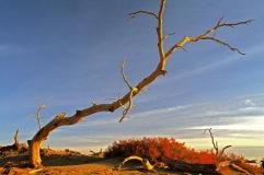胡楊並不孤獨。在胡楊林前面生著一叢叢、一團團、茸茸的、淡淡的、柔柔的紅柳。